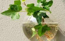 水培植物带来透明心情 9种水培植物美阳台